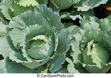 Cabbage - Brassica oleracea L. var. capitata L.