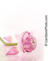 lotus  - pink lotus on the old grunge paper background