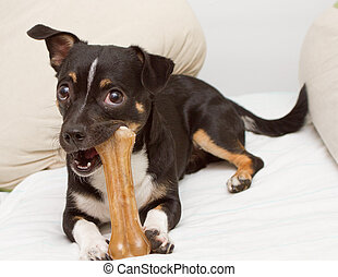 Small dog is playing with bone - Small dog is playing with...