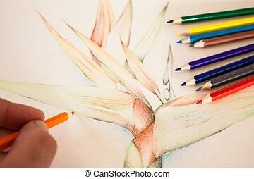 Hand pencil colour drawing Strelitzia with colour pencils