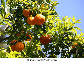 Branch of orange tree - A shot of a well productive orange...