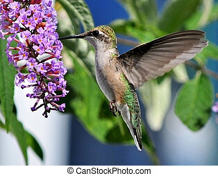 Graceful Hummingbird - A hummingbird stuck in the aspic of...