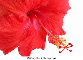 bonito, vermelho, Hibisco