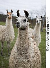 Llamas - three llamas in creative shallow depth of field