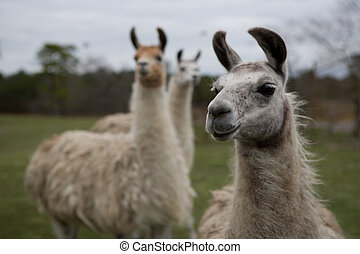 Llamas - three llamas in creative shallow depth of field