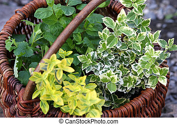 herbs in basket - green fresh herbs in basket