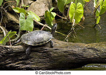 Turtle in tropical setting - A shell turtle with raised head...