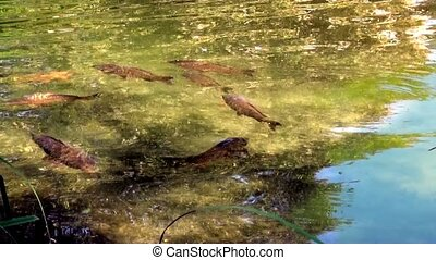 Carp swimming in the pond