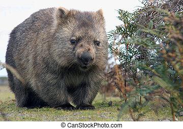 Wombat close-up - A close up of Wombat in Narawntapu...