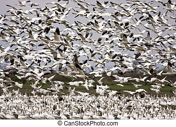 Snow Geese Migration - An enormous flock of snow geese in...