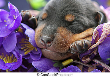 Miniature Pinscher puppy - The Miniature Pinscher puppy, 5...