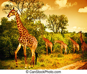 South African giraffes - Image of a South African giraffes,...