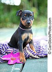 The Miniature Pinscher puppy, 1,5 months old