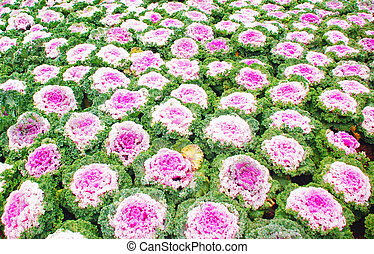 Ornamental brassica - Brassica Oleracea Ornamental Cabbage...