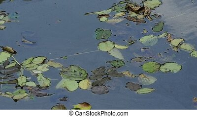 water with swimming leaves