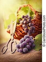 Freshly harvested grapes - Fresh harvest of grapes. Vineyard...