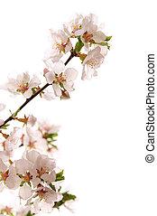 Cor-de-rosa, cereja, flor