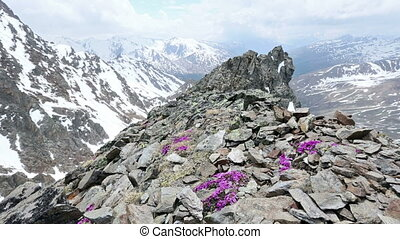 Alp flowers over mountain - Pano view from the Karlesjoch...