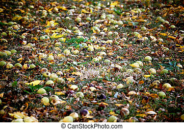 Hickory nuts on the ground
