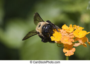 bee on lantana 3 - a very detailed image of a bumble bee...