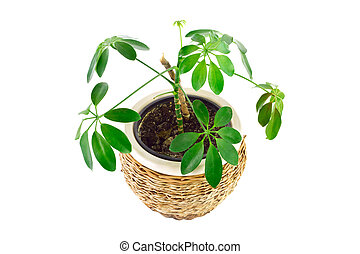 the image of a flower in a pot of room schefflera - a the...