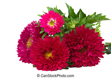red aster flowers - red aster flowers isolated on white...
