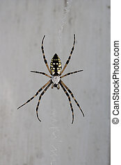spider on window - A large black and yellow spider isolated...