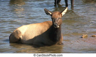 Cow Elk in Lake