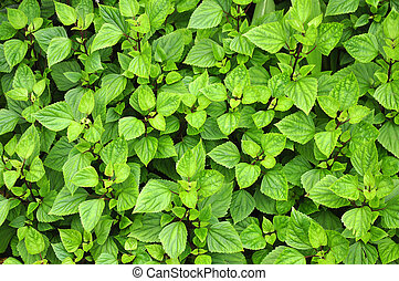 Green serrated leaves