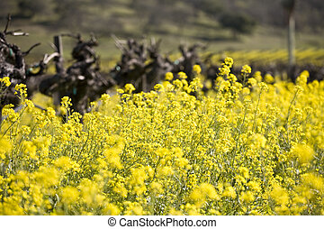 Grape Vines and Mustard Flowers, Napa Valley - Old grape...