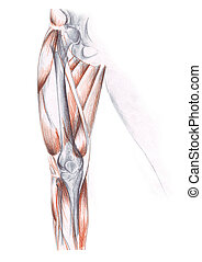 muscles of the leg - A color sketch of the muscles of the...