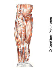 muscles of the arm - A color sketch of the muscles of the...