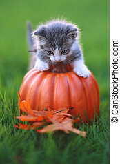 Fall Themed Kitten Image - Kitten in the Grass With Pumpkin