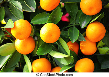 kumquat for chinese new year