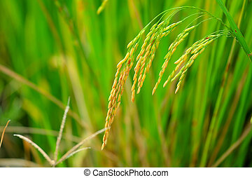 Asia paddy rice