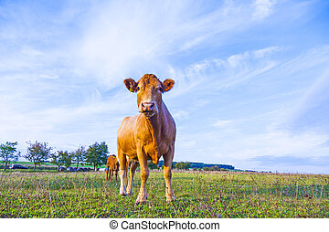 Portrait of nice brown cow in a field - Portrait of nice...