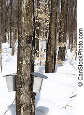 Maple syrup season - Spring forest during maple syrup...