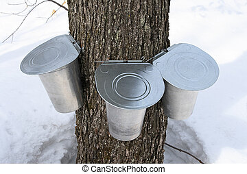 Pails on a maple tree for collecting sap. Maple syrup...