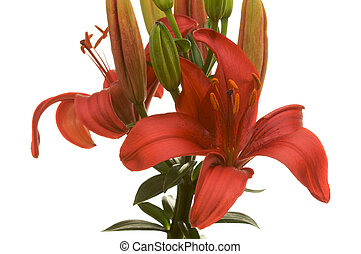 Lovely Asiatic Lily