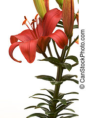 Brilliant Asiatic Lily - Beautiful Asiatic Lily Bloom on a...