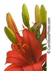 Blossoming Asiatic Lily