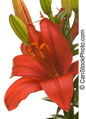 Asiatic Lily Blossom