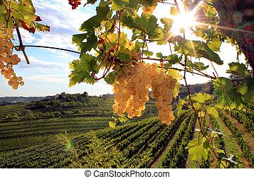 White grapes of Goriska Brda - Pinot blanc and the vineyard...