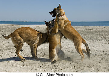 biting belgian shepherd - three young purebred belgian...