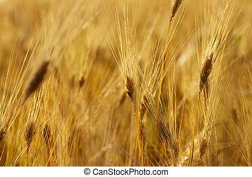 Wheat stem - Yellow wheat stems closeup photo