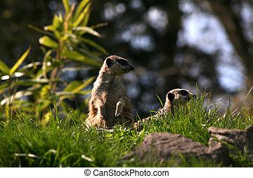 Meercats at a British Safari Park
