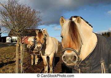 Scandinavian horses