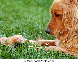 Dog and kitten - orange golden retriever dog and baby cat...