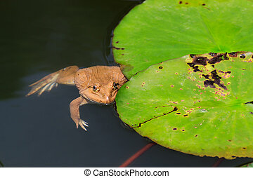 Frog - The frog in a pond with lotus leaves