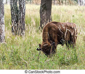 European bison in the national park